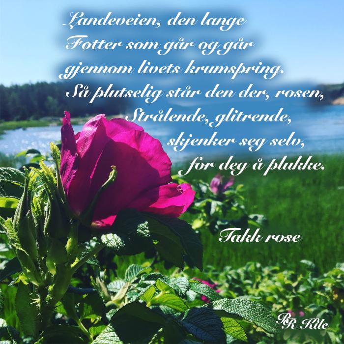 verselinjer og ord, gjennom livets krumspring, dikt, poesi,  gjennom sinna sjø og buketter med roser, poem, sjøen går hvit i fjorden, lyrikk, ei rose skjenker seg selv for deg å plukke, forfatter R.R. Kile