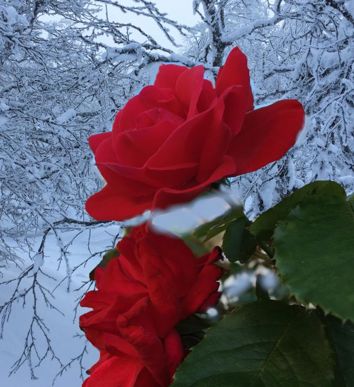 Dikt og vers, frossen snø på rose.  der livet flør, dypt der inne i stammen, på ei gjørmekake i ei barnehand,  knopper i isglede, poesi, lyrikk, Forfatter R.R. Kile.